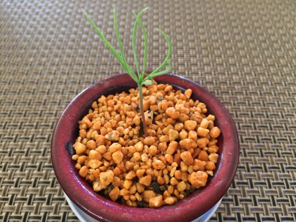 松のミニ盆栽
