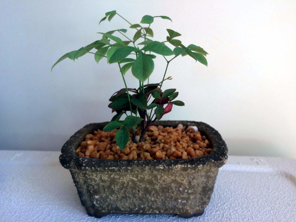 南天のミニ盆栽
