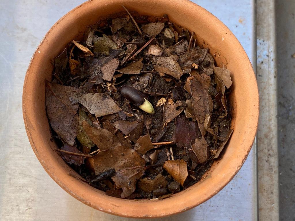 蝋梅を鉢に