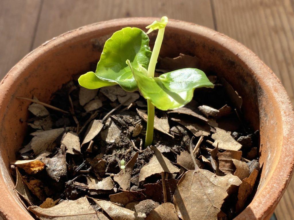 蝋梅の成長1