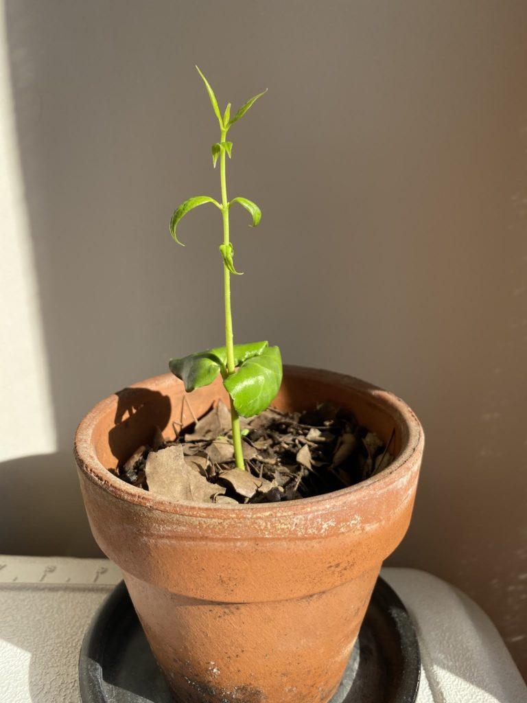 蝋梅の成長2