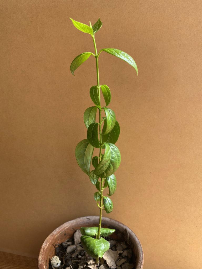 蝋梅 ミニ盆栽づくり1