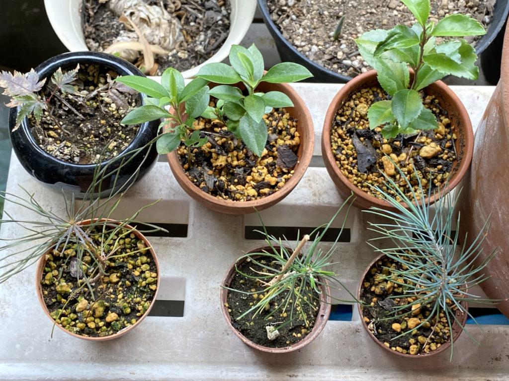 赤松、黒松、もみじ、ヒマラヤスギの盆栽