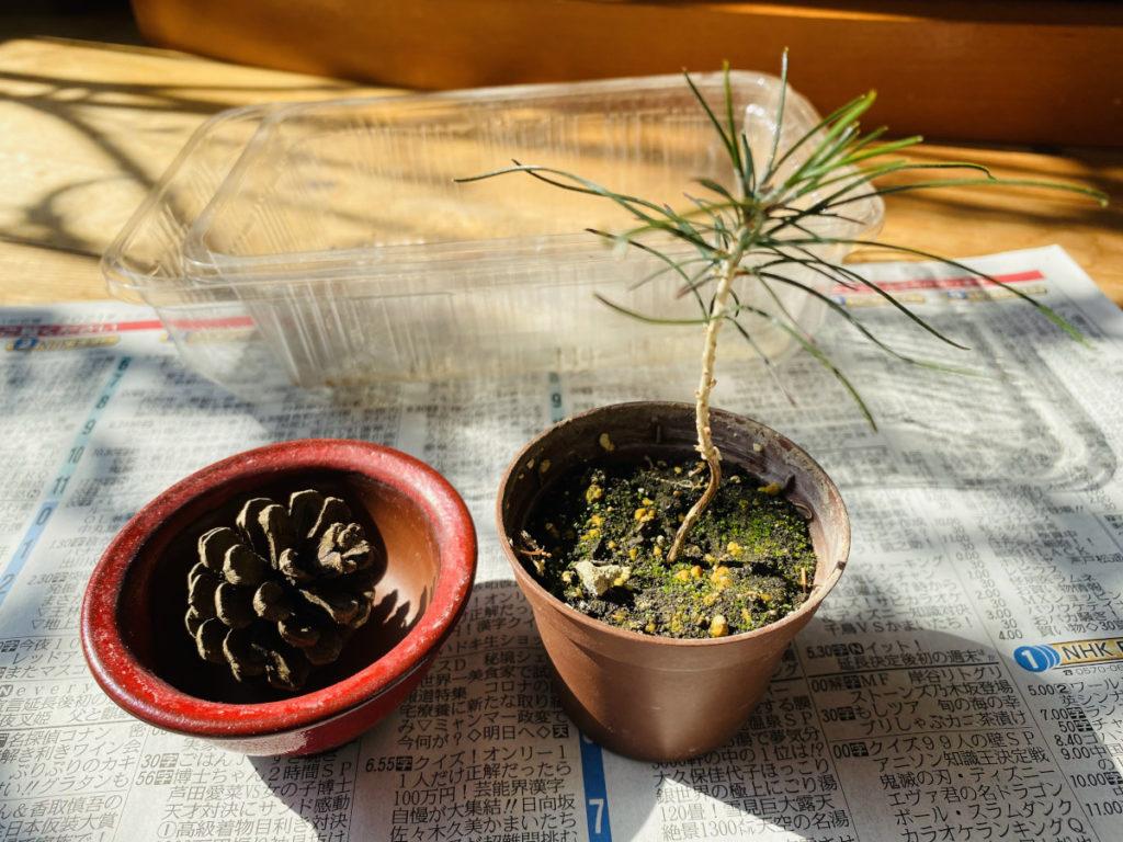 植え替え前の黒松と鉢