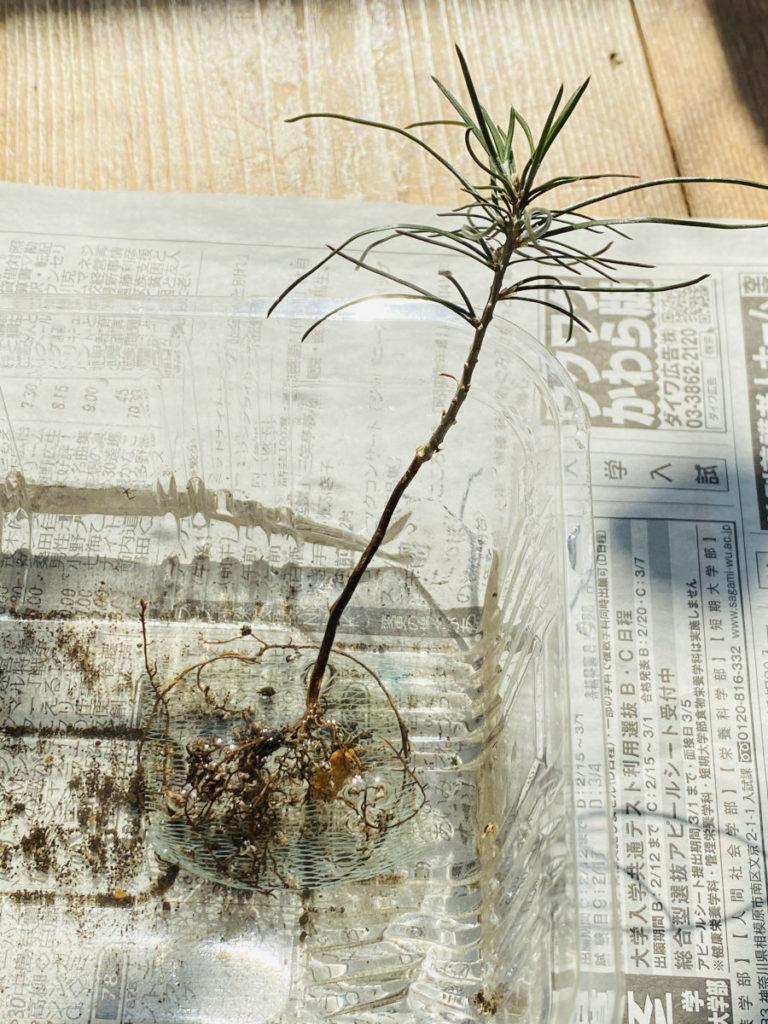 鉢から出した黒松の苗