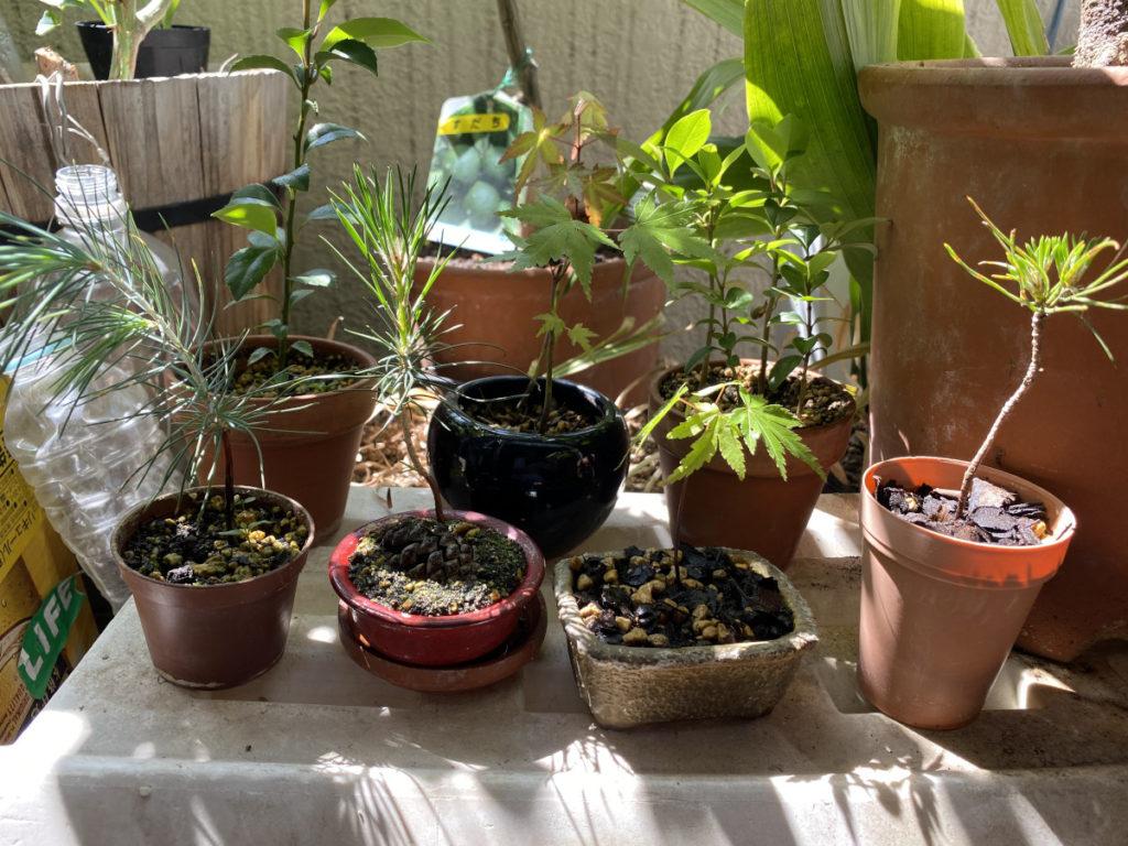 2年目の盆栽たち